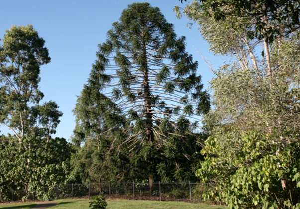 Bunya-Pine-feature
