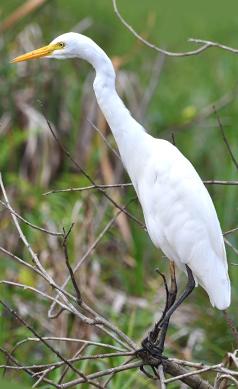 Intermediate-Egret