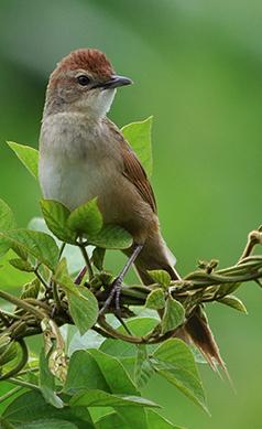 Tawny-grassbird