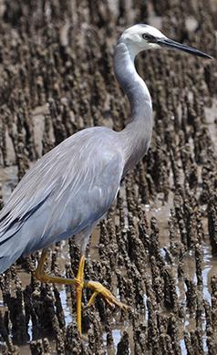 White-faced-heron