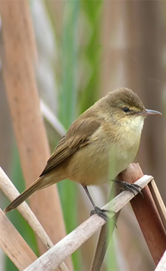 Australian-Reed-Warbler