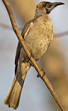 Little-friarbird