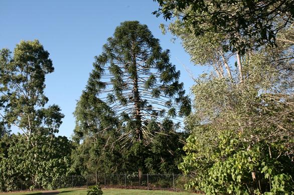 meet-our-bunya-pines