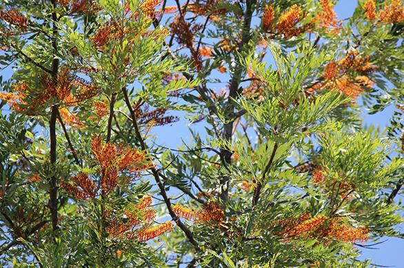 meet-our-silky-oaks