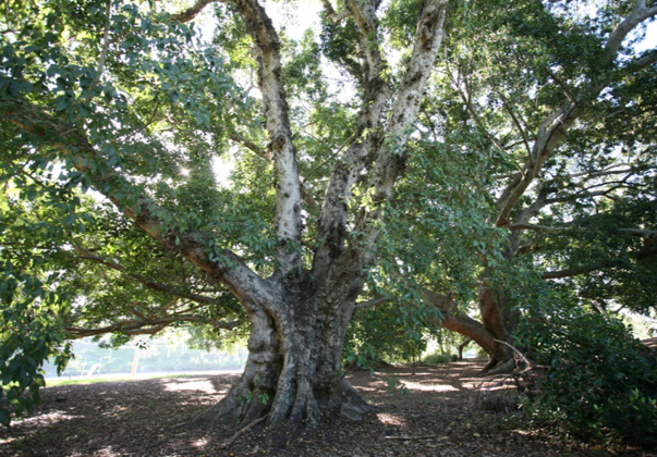 Cluster-fig-mature-tree