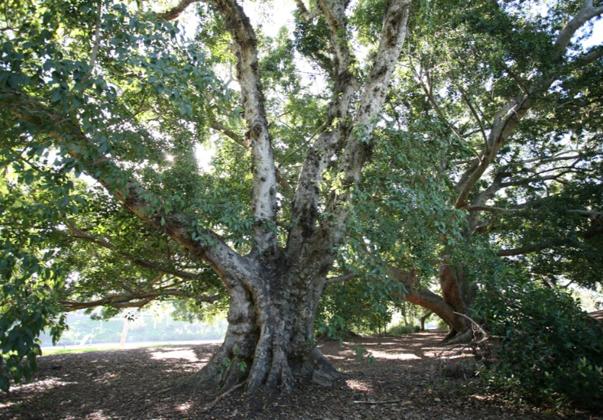 Cluster-fig-mature-tree