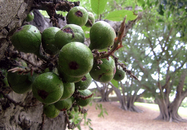 Cluster-fig-fruit