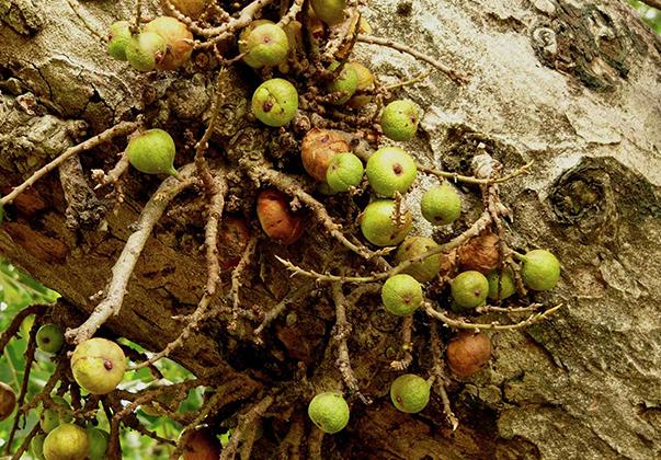 Cluster-fig-fruit-2