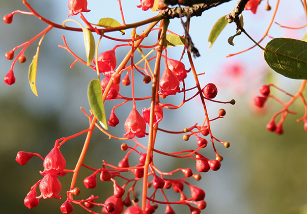 flame-tree-features