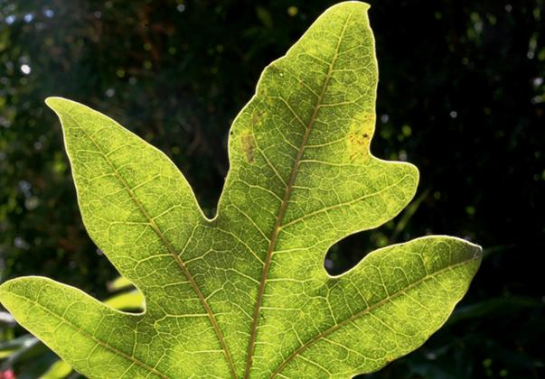 flame-tree-leaf