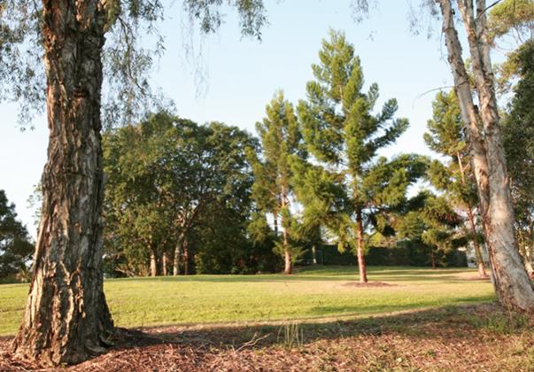 Hoop-pine-tree