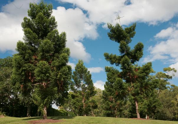 Hoop-pine-trees