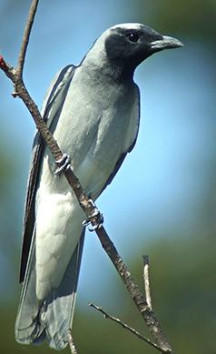 Black-faced-cuckoo-shrike