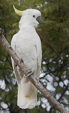 Sulphur-crested-cockatoo