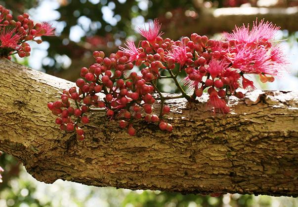 Coolamon-blossom