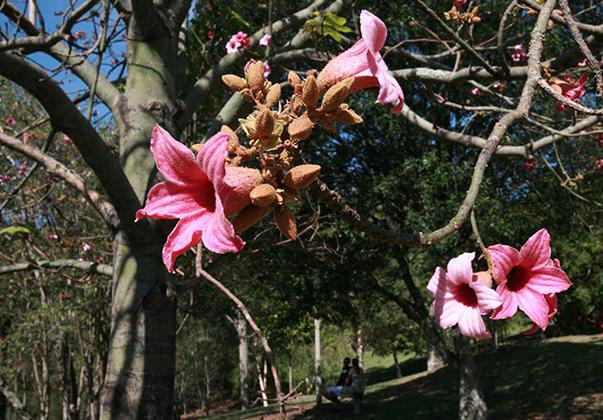 Lacebark-blossoms