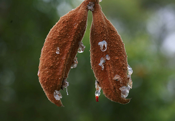 Lacebark-seed-pods