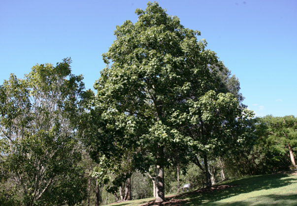 Lacebark-tree