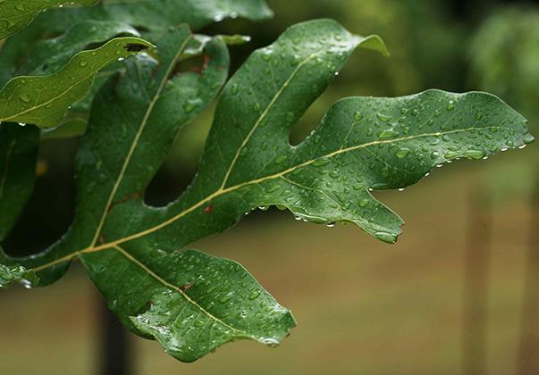 Wheel-of-fire-leaf