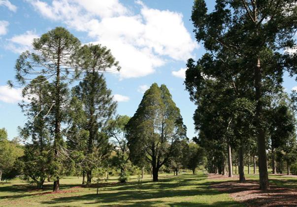 Queensland-Kauri-and-Bunya-Pines
