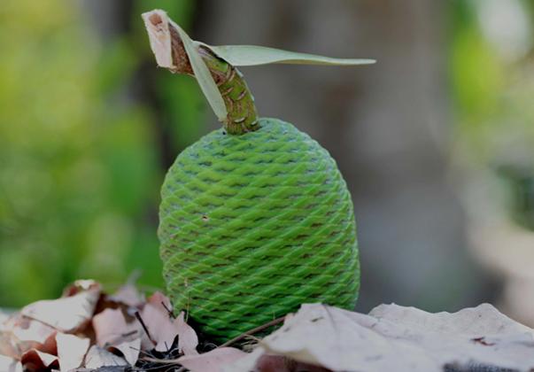 Queensland-Kauri-seed
