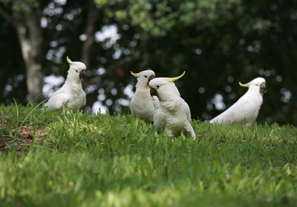 Sherwood-Arboretum-sulphur-crested-cockatoos